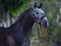 Lusitano Verkaufspferd Havano 2