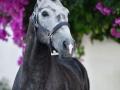 Lusitano Verkaufspferd Havano 4