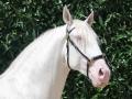 Lusitano Verkaufspferde Idolo 3