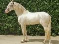 Lusitano Verkaufspferde Idolo 4