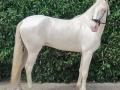 Lusitano Verkaufspferde Idolo 5