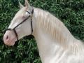 Lusitano Verkaufspferde Idolo 6