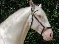 Lusitano Verkaufspferde Idolo 7