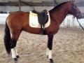 Lusitano Verkaufspferde Ivan 1