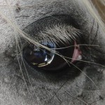 Eldorado Auge