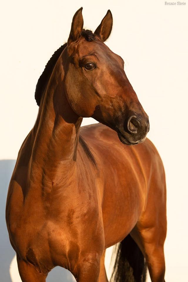 Lusitano Verkaufspferde Ivan 7